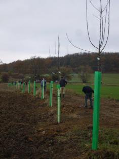 Výsadba ovocných stromků ve volné přírodě